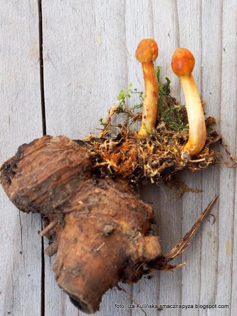 maczużnik wysmukły , grzyby gatunkami , atlas grzybów , orawa , grzybobranie , maczużniki , pasożyt
