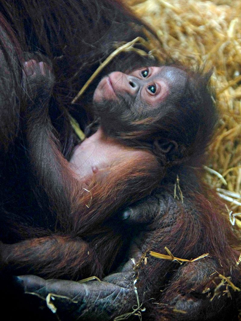 Baby Animals: Baby Orangutan 4