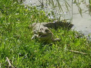 Small alligator in Iquitos