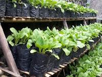 Bertanam Menjadi Mudah dan Praktis dengan Memakai Polybag