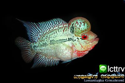 ขายปลาหมอสีราคาถูก ขายปลาหมอสี มุก ราคาถูก ขายปลาหมอสีหัวโหนก  ขายปลาหมอสี หัวลาย แดงมุก ทรงกระชับ ส่งได้ทั่วไทย แพ็คปลา ใส่กล่องโฟมอย่างดี ส่วน กทม ส่งที่สวนจตุจักร นัดส่งปลา วันเสาร์ และ อาทิตย์