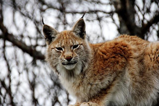 A lynx yesterday