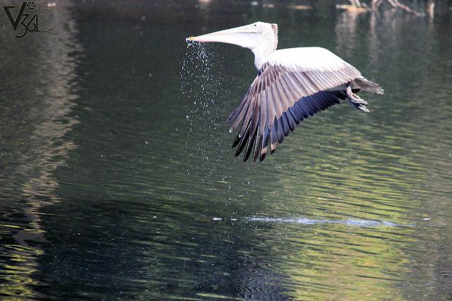 Pelican fishing at Ranganathittu