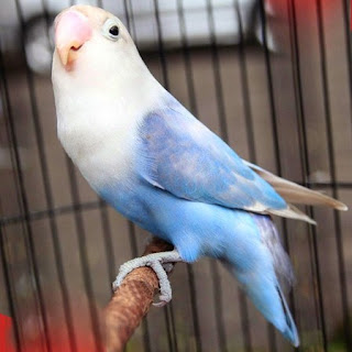 List/Harga Pakan Burung Lovebird Terbaru Dan Paling Lengkap