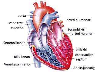 bagian jantung