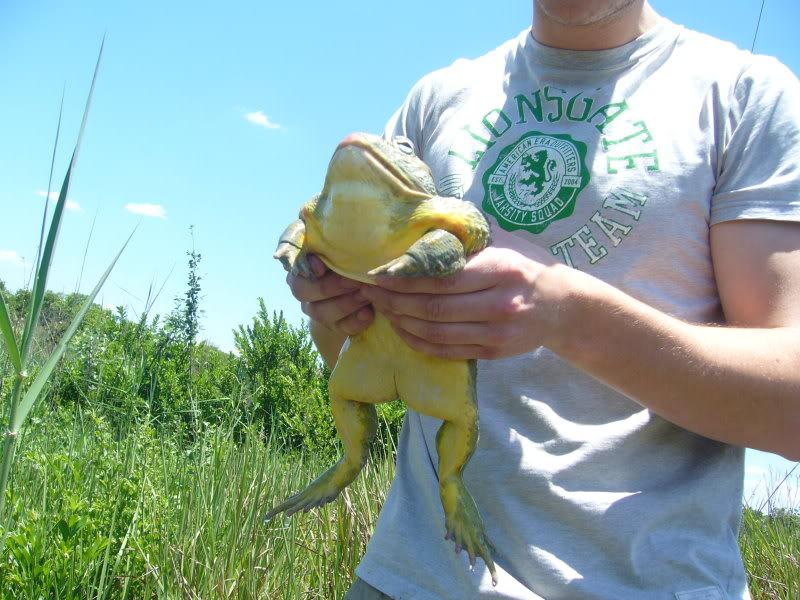 The African bullfrog-(pyxichepalus adspersus).