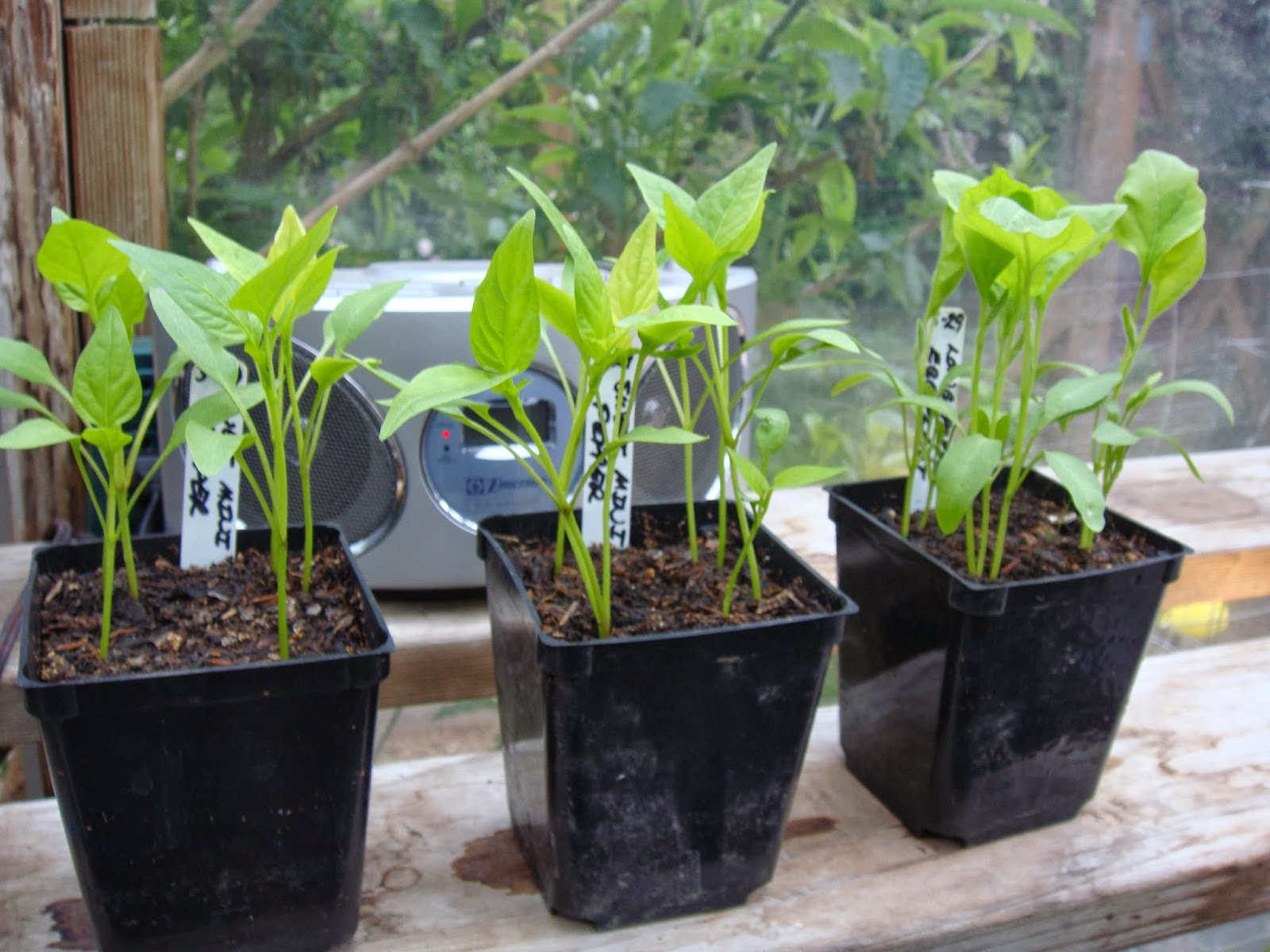 Pepper Seedlings Started in The Garden Oracle's Greenhouse.  The Pepper Plants in This Photo are About Four Weeks Old from the Date of Sowing, and are Ready to be Thinned, Divided and Potted Up into Individual Three Inch Pots with The Plants Set a Bit Deeper in the New Pots.  They Were Sown with Four Clusters of Three Seeds Each in Three Inch Pots.  After Growing on for a Few More Weeks they Will be Ready for Planting Out with The Plants Set a Bit Deeper in the Ground than in The Pots to Encourage a Larger Root System, or They can be Up-Potted into Large Pots at that Point for Greenhouse Culture.  Make Sure to Check Out the Large Assortment of Both Hot and Sweet Pepper Seeds Available Through the Vegetable Seeds Tab at the Top of this Site.
