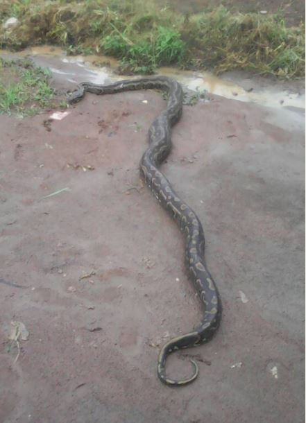 See the Monster Python Killed In an Estate in Ikorodu (Photos)