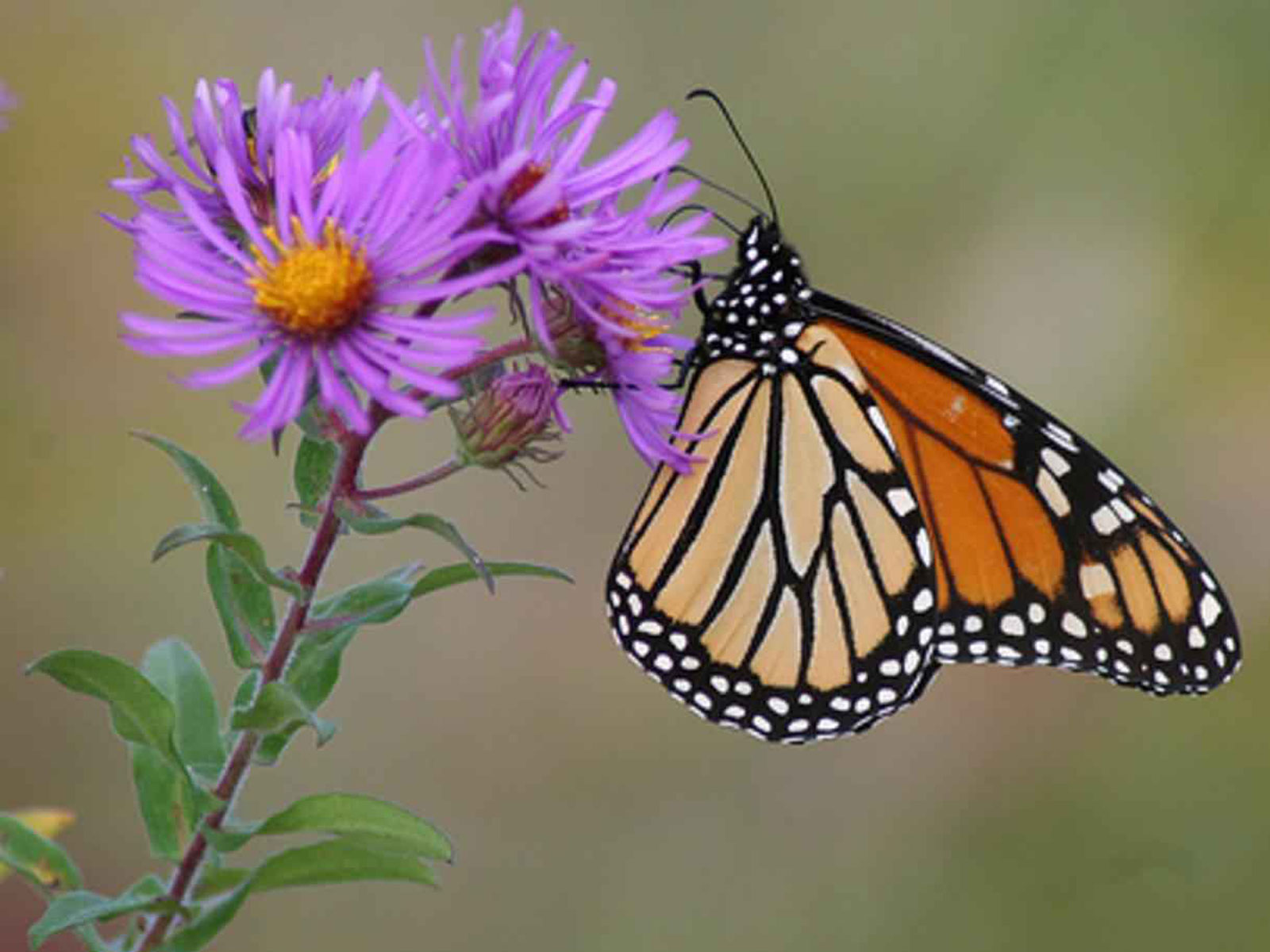Butterfly Pictures And Explanations