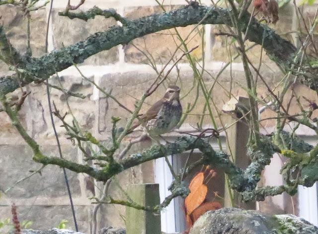 Dusky Thrush, Beeley, Derbyshire