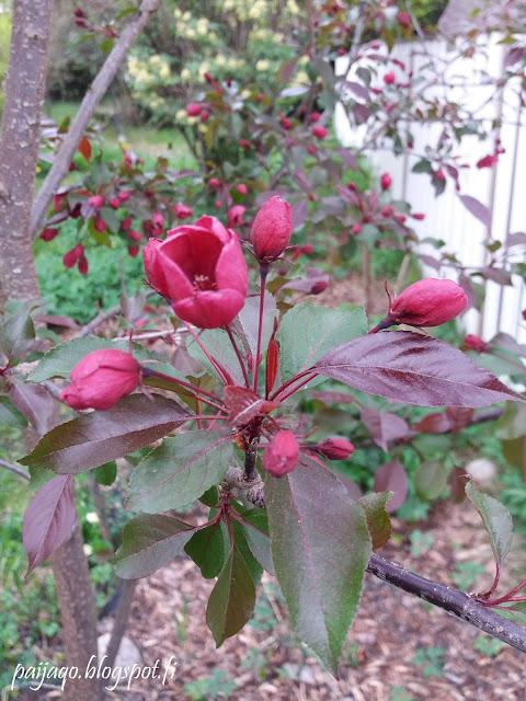 purppuraomenapuu kukka