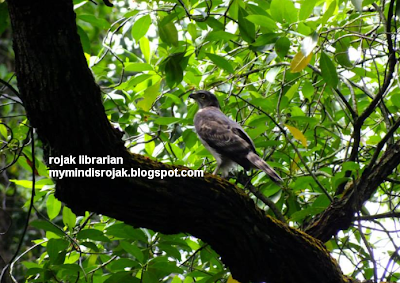 Chinese Sparrow hawk on a Tembusu Tree in Bidadari