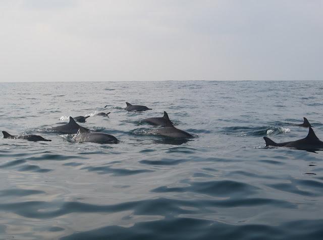 Yuk..!! Lihat Lumba-Lumba Di Teluk Kiluan Lampung, Silahkan Share..!!