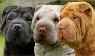 Acerca del perro Shar Pei