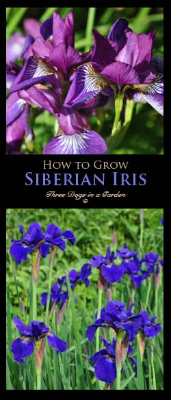 How to Grow Siberian Iris