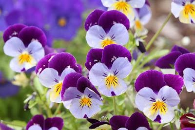 Цветы имени Анна анютины глазки