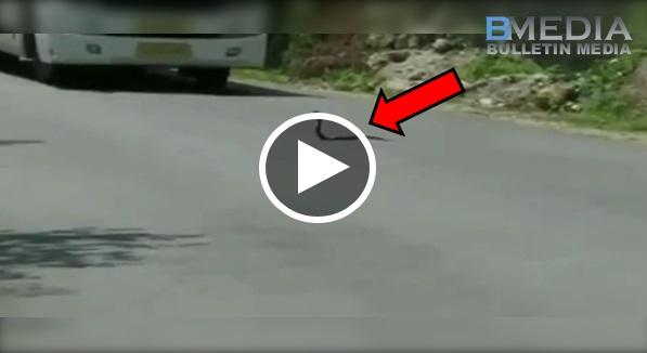 Menakjubkan! Awalnya Seekor Cobra Menghalang Laluan Bas..Tiba Tiba Lihat Apa Yang Terjadi..
