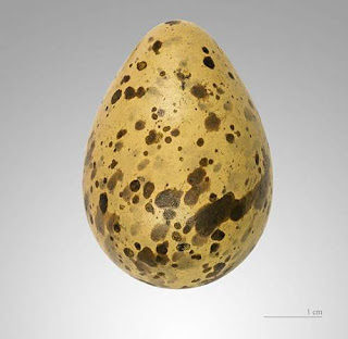 Gallinago media egg