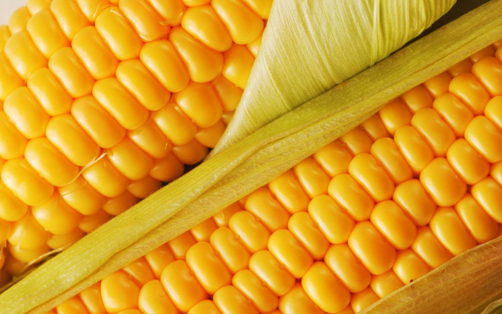 Maize Wallpaper For Presentation: Desktop Wallpaper