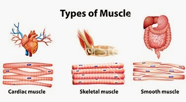 introduction to movement and locomotion types of muscles skeleton