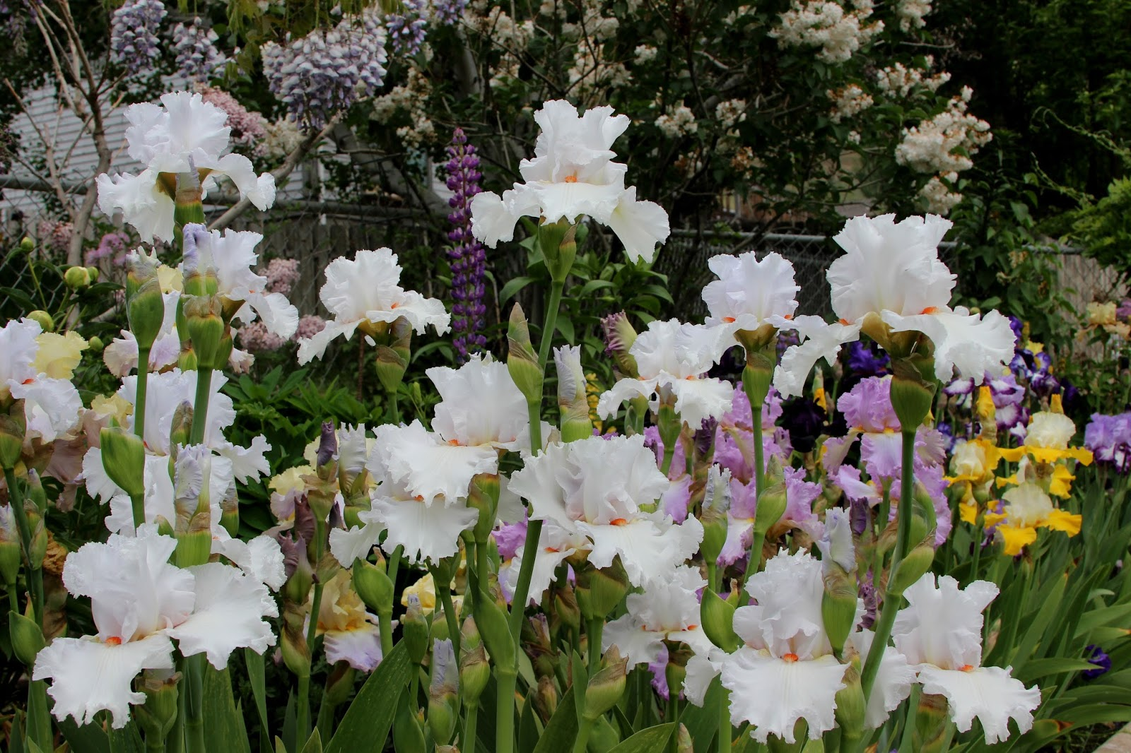 World of irises talking irises white tall bearded irises im bearded iris with its elegant and graceful beauty certainly has the ability to quietly command attention as well as brighten up the flower garden izmirmasajfo