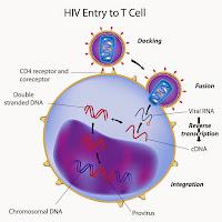 Virus HIV menyerang Limfosit T4