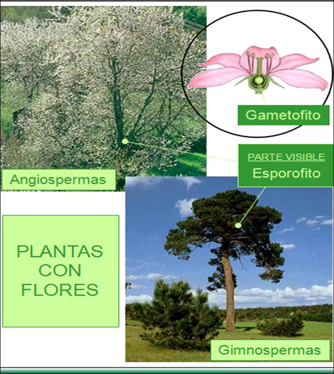 Plantas con flores gimnospermas y angiospermas con ciencia for Las caracteristicas de los arboles