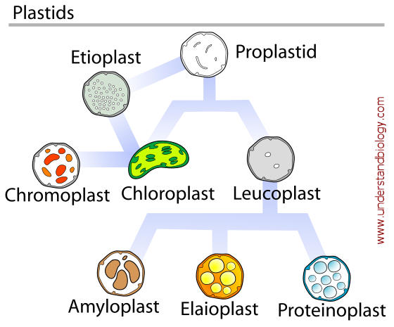 Plastids Understandbiology