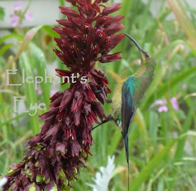 Malachite sunbird in Porterville