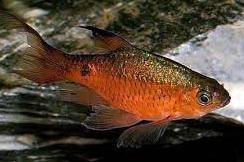 Jenis Ikan Hias Air Tawar Barbir