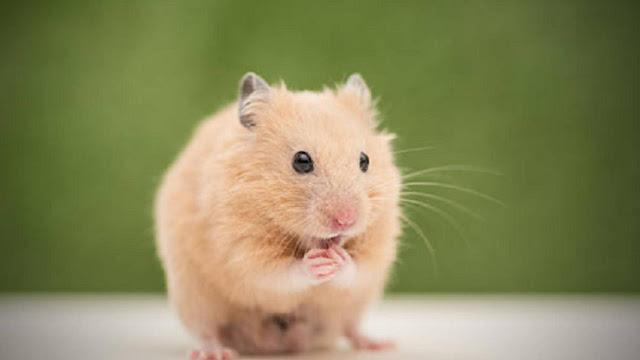 Ayam hingga Hamster, 5 Hewan Jinak Ini Ternyata Bisa Membunuh Manusia