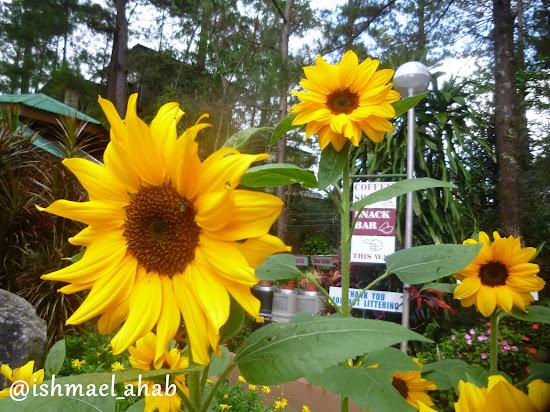 Sunflowers in Good Shepherd Convent Baguio