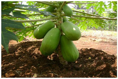 Cara Agar Pepaya Cepat Berbuah & Memiliki Pohon Pendek