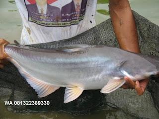 Umpan Pelet Serbuk Ikan Patin Paling Jitu