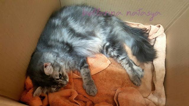 Distokia Masalah Kucing Beranak Dystocia Cat Birth