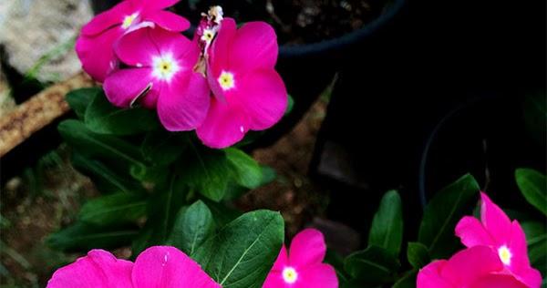 Image result for flores plantas    BUENASTARDES    (Catharanthus roseus L.)  APOCYNACEAE.
