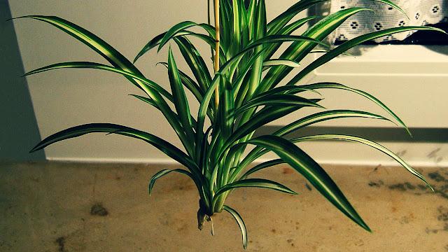 Cara Budidaya Tanaman Spider Plant