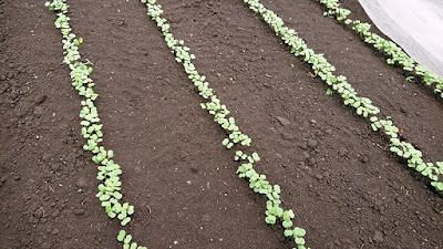 びっしりと芽が出た茎立菜