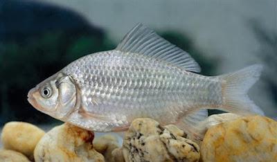 suriye japon balığı