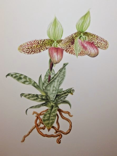Paphiopedilum sukhakulii watercolour©Polly o'Leary 2015