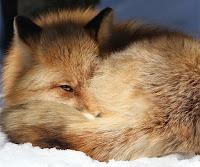 Kar üzerinde uyur gibi yapıp tek gözüyle etrafı izleyen tilki