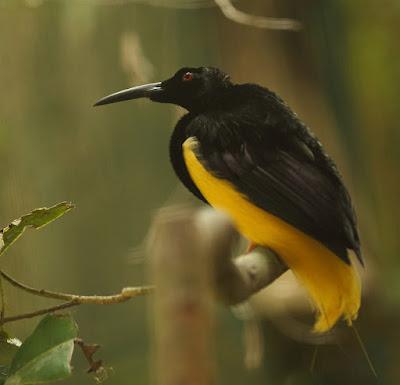 Seleucidis melanoleucus