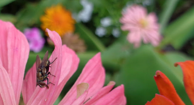 Fly on a pink zinnia in the garden
