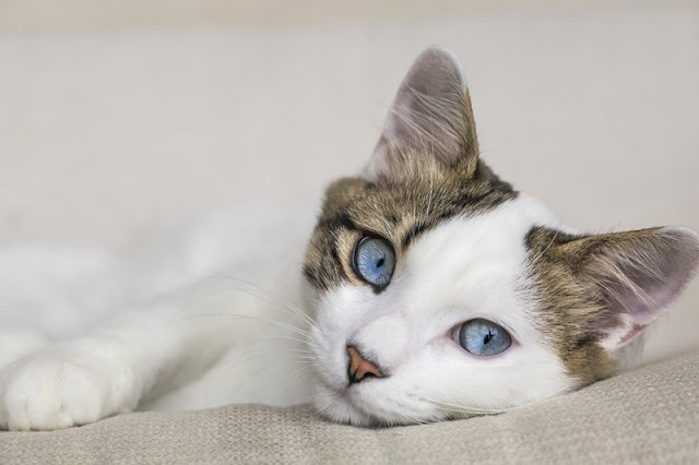 How to train cats, like this beautiful white cat with blue eyes