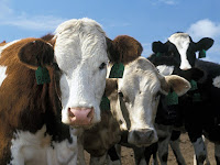 Cattle Animal Pictures