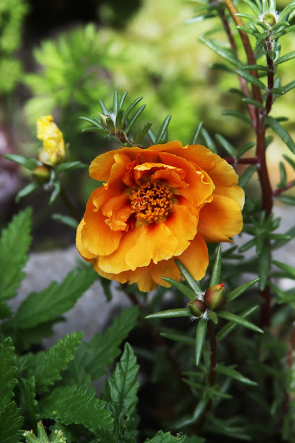 portulaca, moss roses, gardening, orange flowers, Anne Butera, My Giant Strawberry