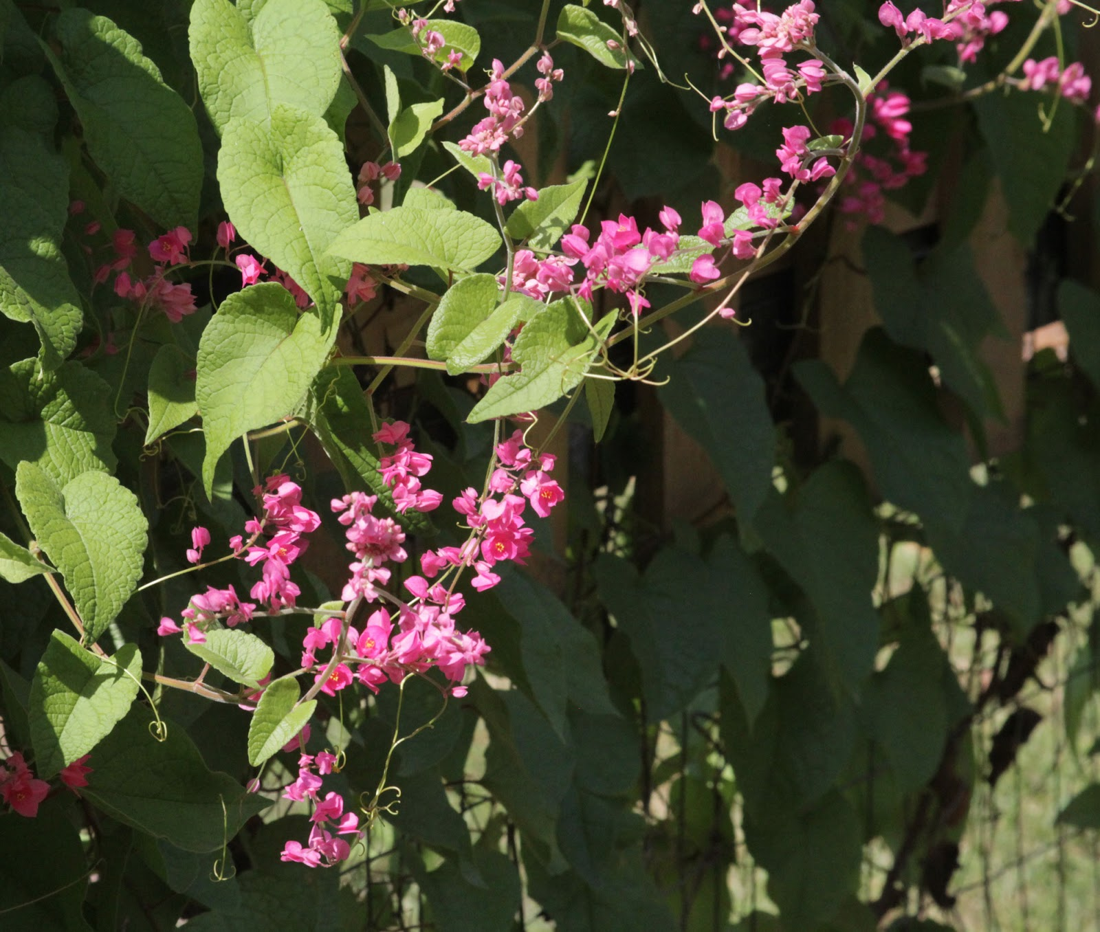 The Nature of Things: Backyard Nature Wednesday: Coral Vine