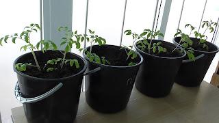 Перевалка помидоров в 7 л ведерки