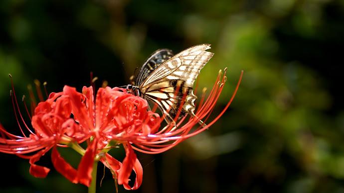 Wallpaper: Butterfly on Lycoris Radiata