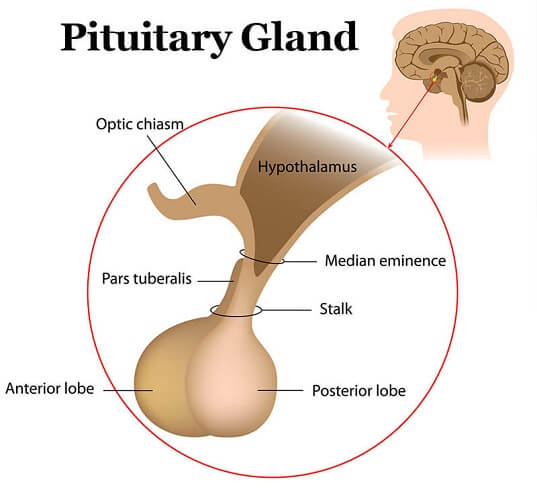 daily dose: fun fact - pituitary is not the master gland, Human Body